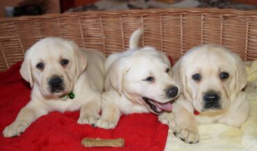 Labrador Retriever Puppies I have both Males and Females. If you are