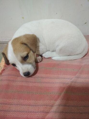той терьер девочка в Кыргызстан: Продаются щенки Джек-рассел терьера. Все 4 девочки. Родились 24 июля