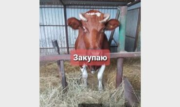 Коровы, быки