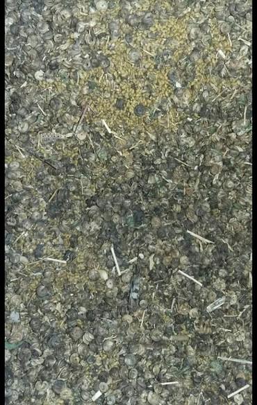 Семена и уличные растения в Каинды: Здравствуйте. Куплю семена люцерны,бобики не дробленые.Дорого