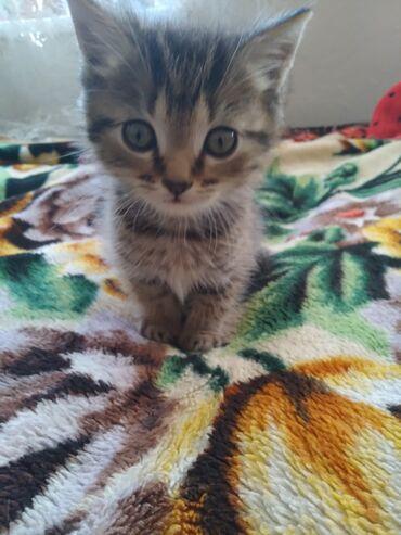 Коты - Кыргызстан: Продаю котёнка. Чистокровный шотландский скоттиш