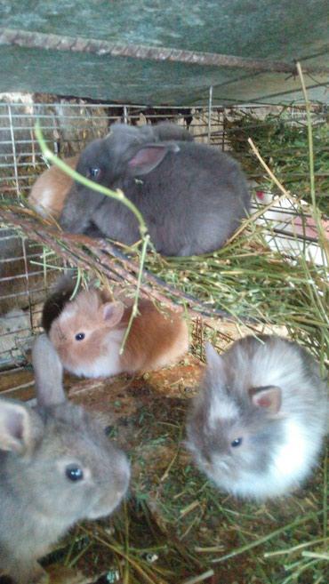 Крольчата карликовые разных окрасов лвино- головки. в Кок-Ой