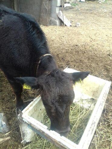 Продаю телку породы ангус,стельная,мясо молочного направления