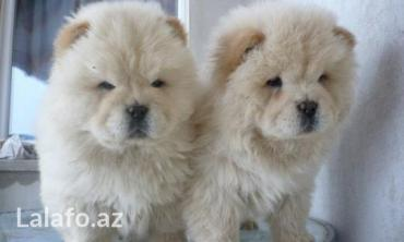 домик для маленькой собаки в Азербайджан: В продаже в Баку любая порода