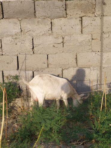 Животные - Джал мкр (в т.ч. Верхний, Нижний, Средний): Козы, козлы