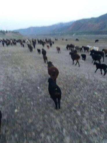 Работа - Кара-Кульджа: Чабан керек срочно Кара Кулжа районуна тамак аш газ менен камсыздалат