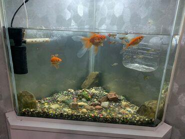 tolstolob baligi - Azərbaycan: Akvarium üstündə 18 qupi 1 japon baligi 2 qizil baligi pulsuz verilir