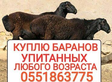купить ауди а 4 в Кыргызстан: Куплю | Бараны, овцы