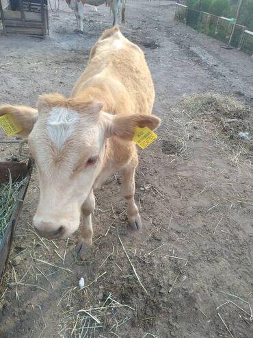 Животные - Чон-Арык: 3голов коровы сменталы 2отел 2теленками