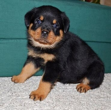 Για σκύλους - Αθήνα: Αξιολάτρευτα κουτάβια Rottweiler διαθέσιμα. WhatsApp. ± 357 96 1