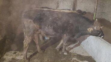 белое платье в пол с цветами в Кыргызстан: Пдою.или меняю на корову быку 1.4 месяс