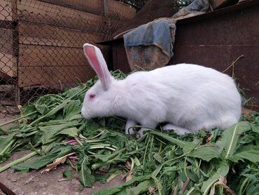 Продаю белых кролов шестимесячных. Самец и самка.По всем вопросам обра