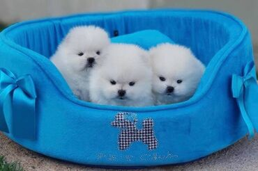 Pomeranian κουτάβιαΧαριτωμένα κουτάβια Pomeranian για εκ νέου
