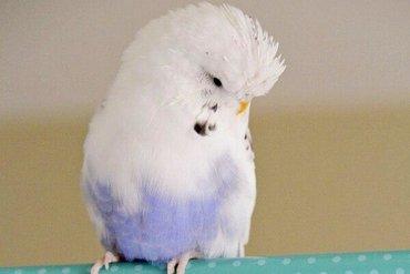Попугаи!!!Дорогие покупатели у нас есть много видов попугаев можно