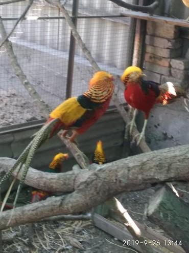Продаю самцов золотого фазана. возраст 2 года.   Цена окончательн