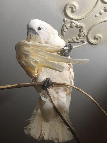 kakadu - Azərbaycan: Kakadu moluccan erkek axtariram cutlesdirmeye