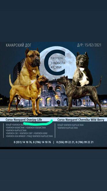 Собаки - Кыргызстан: Продаются щенки канарского дога. Цена договорная