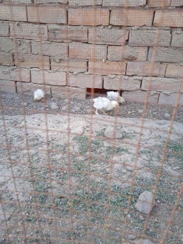 продажа цыплят в бишкеке в Кыргызстан: Продаю суточные цыплята брама. недельныемесецные цыплята брамы