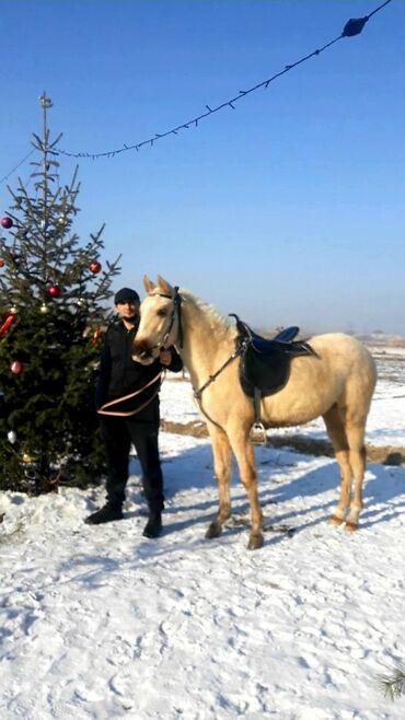 Доски 100 х 225 см для письма маркером - Кыргызстан: Предлагается к продаже породистый жеребчик полу кровка отец кара