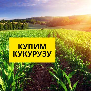 Купим Кукурузу! Купим зерно фуражное кукурузы. Выкупаем урожай 2021 по