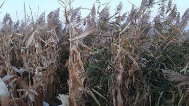 220 объявлений   ЖИВОТНЫЕ: Кукурузные стебли и камыш 2 га. Собрали кукурузу в ручную