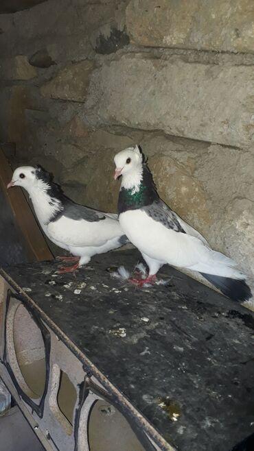 kankiler qiymeti - Azərbaycan: Qiymeti sondu 30