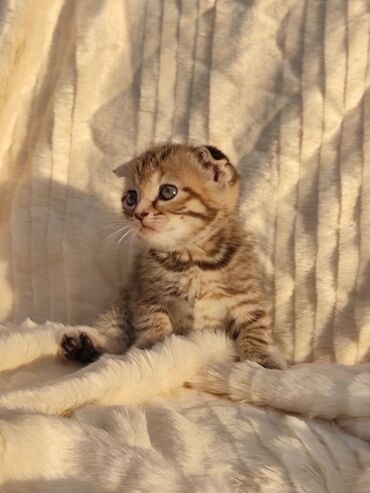 Животные - Полтавка: Предлагаются для резерва котята шотландской породы