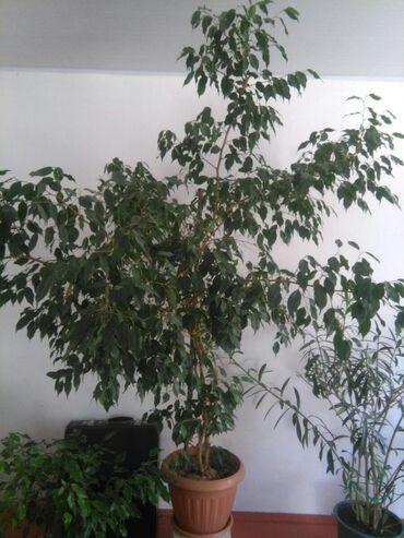 Комнатные растения в Кок-Ой: Фикус просим 7000 если что уступим!!!