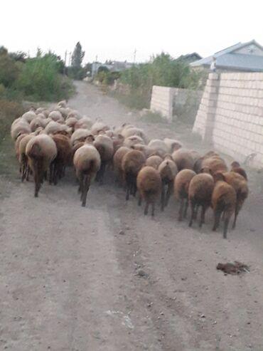 quzu - Azərbaycan: 30 qoyun ve 30 quzu 200 manatdan satilir unvan berde rayonu xesili