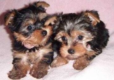 Πώληση κουτάβια Yorkshire TerrierΤα κουτάβια Yorkshire Terrier