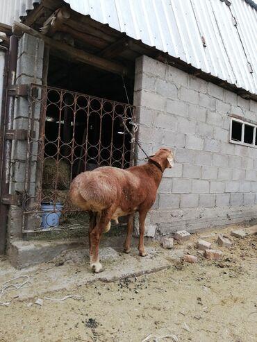 Животные - Ак-Джол: Продаю | Баран (самец) | Гиссарская, Арашан | Для разведения | Племенные, Осеменитель