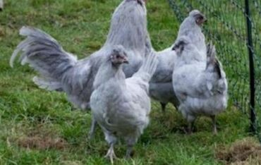 dekarativ quslar - Azərbaycan: Rengli yumurta, dekarativ toyug yumurtasi 4man amerikuana