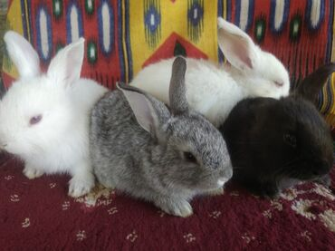 Животные - Кызыл-Адыр: Продаются крольчата великан. 4 штук Очень красивые крольчаты