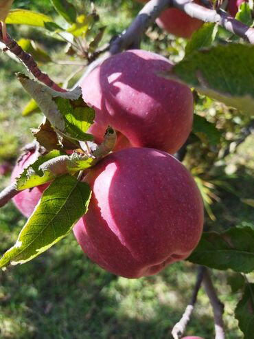 Продаю ыссык-кульские зимние яблоки село Кара-ой