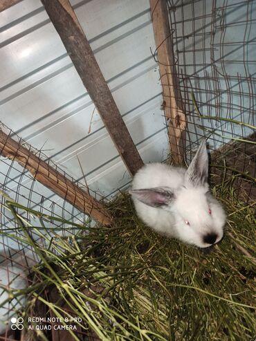 Животные - Баткен: Кролики