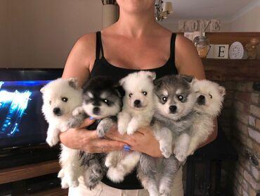 Τα καλύτερα κουτάβια PomeranianΈχω καταπληκτικά σκουπίδια δύο