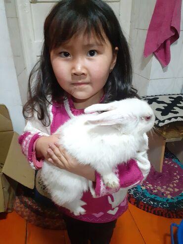 Декоративные кролики - Кыргызстан: Ургаачы коён сатылат караколдо обмен карайбыз