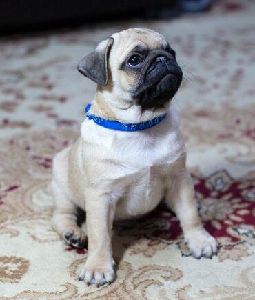 куплю мопса в Кыргызстан: Оличные щенки мопса Продаются щенки мопса!!28.10.20Две чёрные