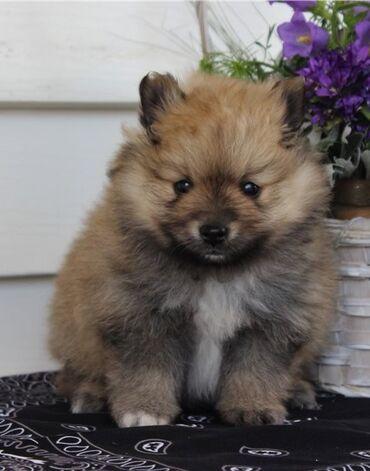 Heyvanlar Hacıqabulda: Teacup Pomeranian Cute kişi və qadın Teacup Pomeranian Puppies Satılır