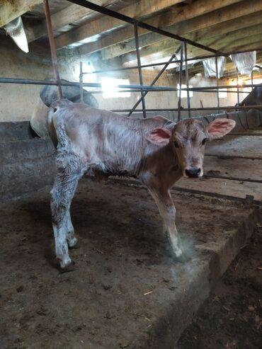 Животные - Беловодское: Бычок хороший породистый 10дней
