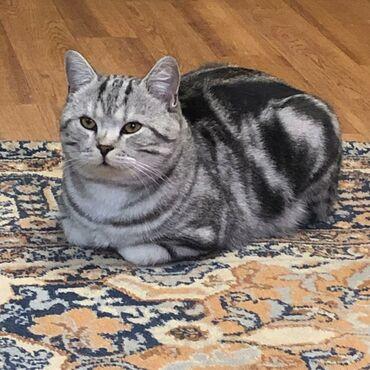 хайленд страйт в Кыргызстан: Вязка шотландский кот скотиш страйт