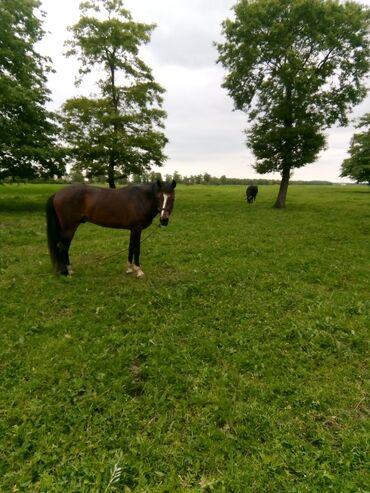 Животные - Гёйтепе: Лошади, кони