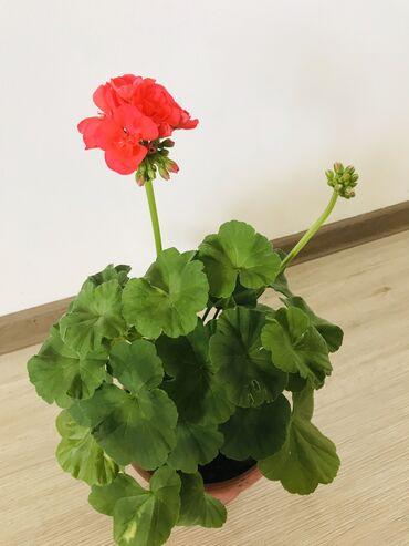 растение-комнатная в Кыргызстан: Домашнее растение - ГЕРАНЬ высотой 30 см