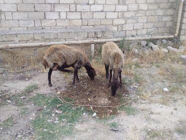 Heyvanlar - Azərbaycan: 4 eded temiz qala qoyunları balasız 4 ededi 1000 m balalarda 4 dude