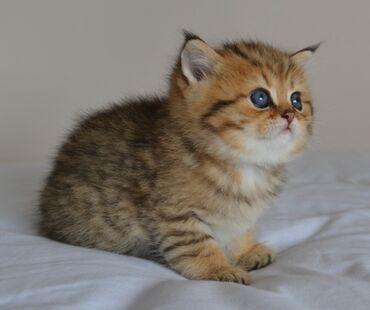Mačke | Srbija: Prekrasan egzotični dečko Ovo je mali Maurice, prelijepa krema i bijel