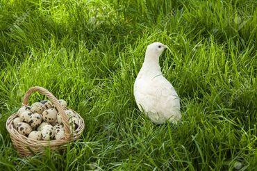 - Azərbaycan: Yumurta-BildirçinBildirçin yumurtasının faydaları nələrdir?Öskürək