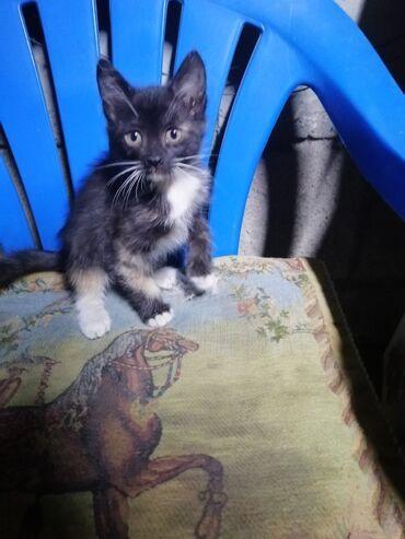 botilony na kabluke в Кыргызстан: Отдаю в хорошие руки котят!