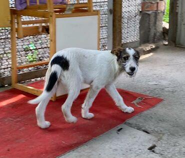 Собаки - Кыргызстан: Фонд помощи Животным Добрые руки ищет Добрые Руки для щенка. Девочка