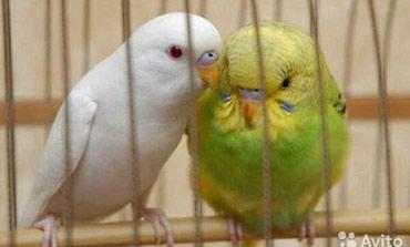 Все цвета попугаев Желтые серые голубые  фиолетовые все от 500 сом в Бишкек