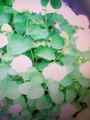 Гортензия садовая ( белая ) 200 сом в Лебединовка